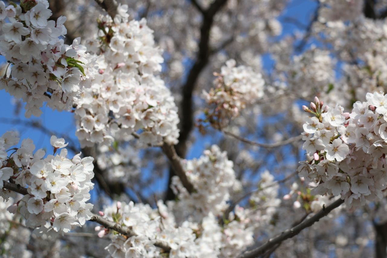 Its Cherry Blossom Time in Niseko